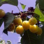 Выращивание черешни в Подмосковье