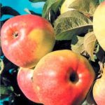 сорт яблони Богатырь