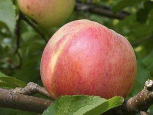 Сорт яблони Болотовское