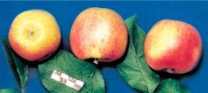 Сорт яблок Успенское