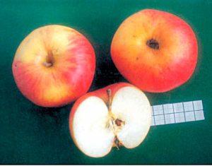 Сорт яблони Успенское