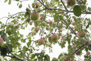 Зимний сорт яблони Беркутовское