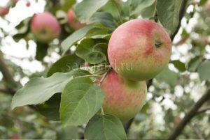 сорт яблони Беркутовское