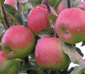 сорт яблони Былина