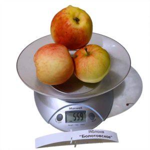 вес яблок Болотовское
