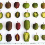 Актинидия коломикта и актинидия аргута в садах Миннесоты