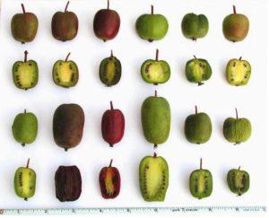 плоды различных видов актинидии