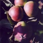 сорт яблони колоновидной Останкино