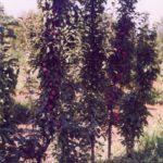 Колоновидные яблони - происхождение, урожайность, обрезка