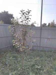 дерево яблони сорта Елена
