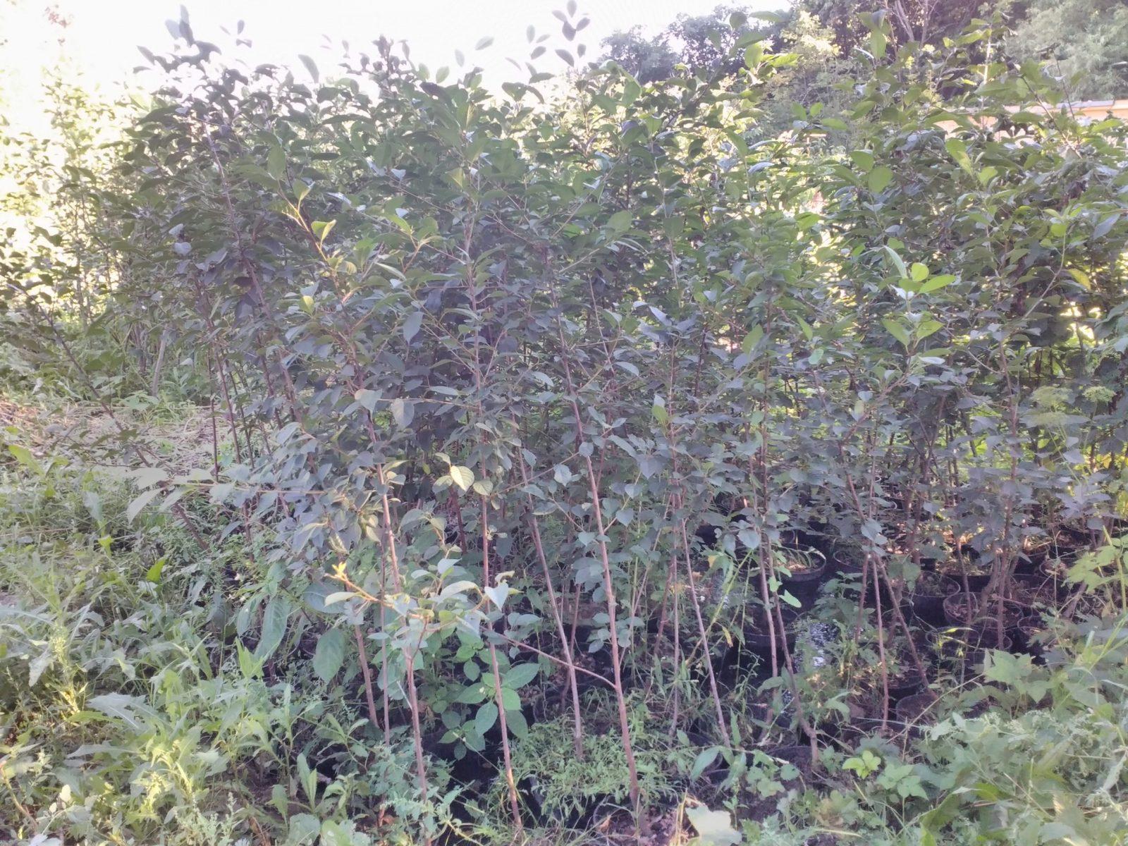 саженцы вишни и черешни с закрытой корневой системой (ЗКС)