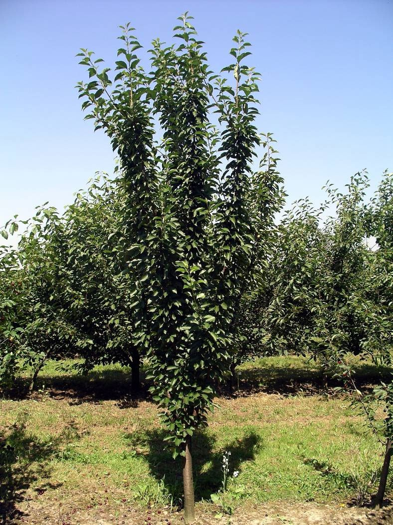 клон вишни колонновидной Pi-Sa 12,165.