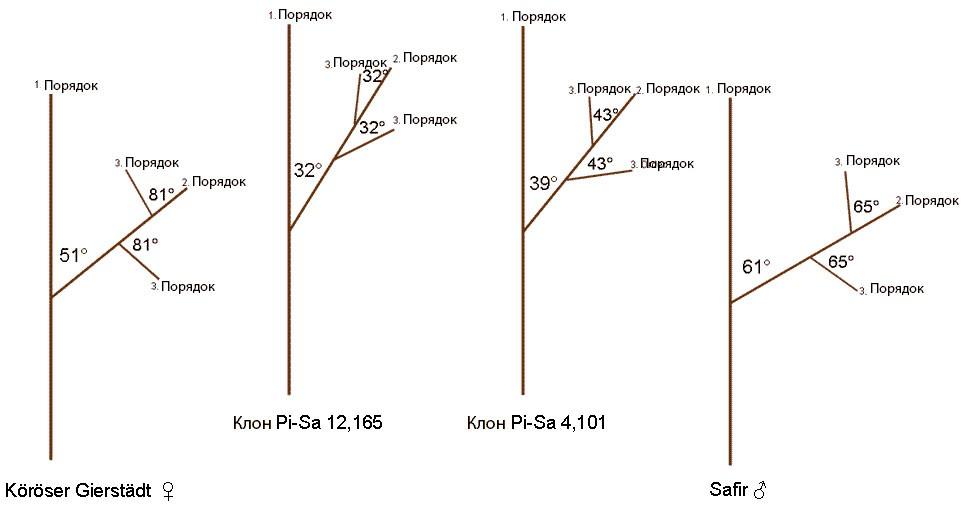 ис 3. Схема средних углов отхождения ветвей второго и третьего порядка у родительских форм и их колоновидных потомков.