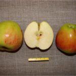 сорт яблони колонновидной Готика