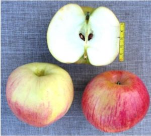 плоды яблони колоновидной Стела