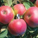 сор колоновидной яблони Приокское