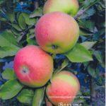 сорт колонновидной яблони Валюта