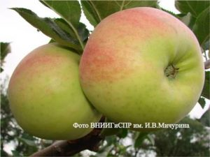 Сорт яблони Фрегат