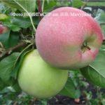 плоды сорта яблони Благовест