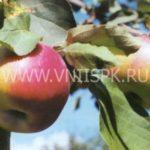 плоды сорта яблони Рождественское