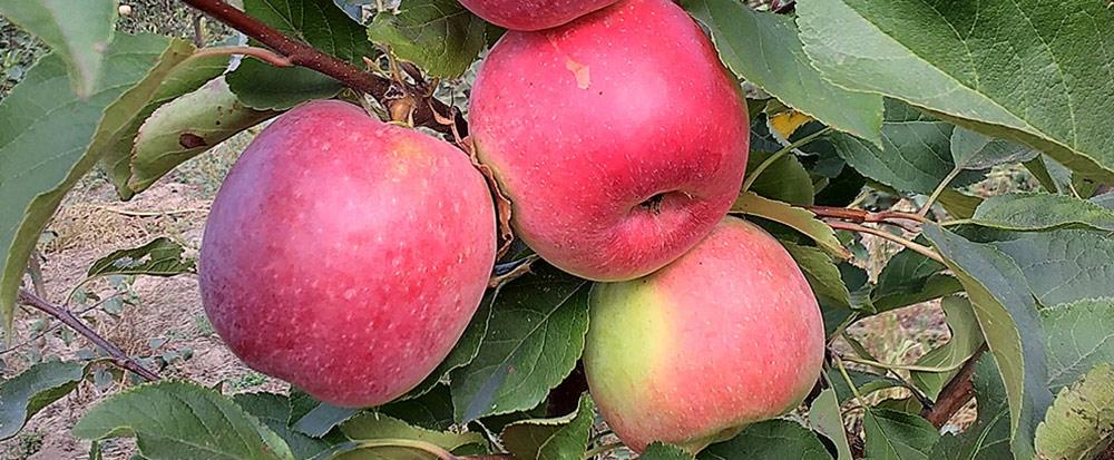 Былина - великолепный осенний сорт яблони