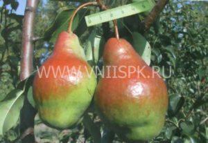груша Яковлевская