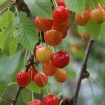 Доступны для заказа на осень 2019 г однолетние растения черешни