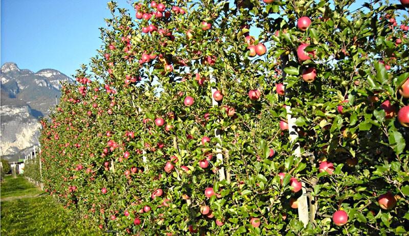Система обрезки Плодовая Стена - Fruiting-Wall
