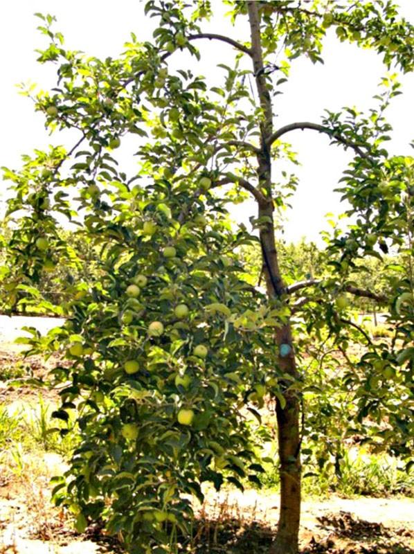 Solax - система обрезки яблони