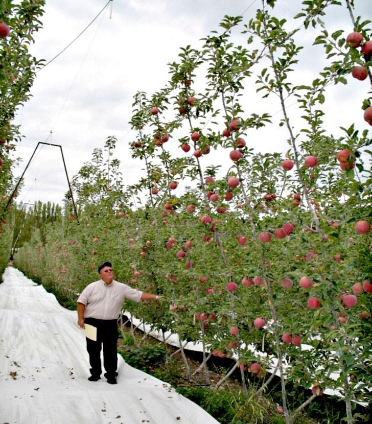 V-образная система выращивания яблони - V-trellis