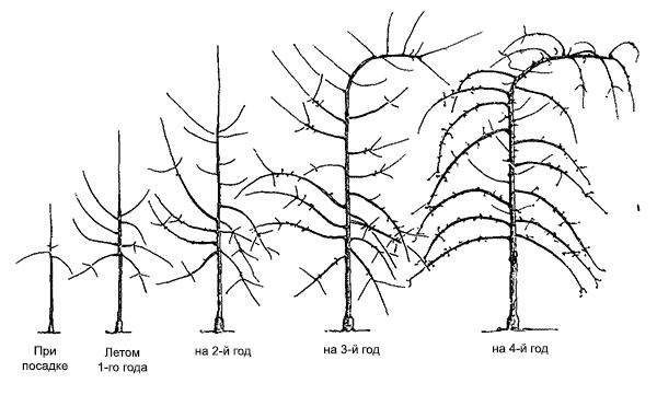 Система формировки яблони и груши Солакс