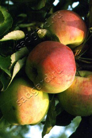 колоновидная яблоня сорт Васюган