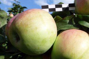 колоновидная яблоня Восторг
